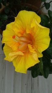 Botanical-Hibiscus