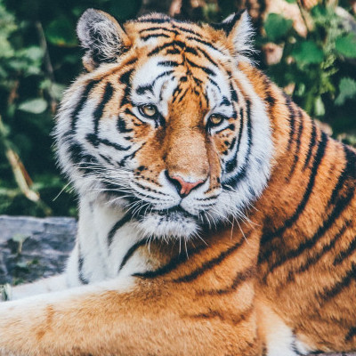 Poems-by-Veron-Lee-Campbell-A-Medley-of-Awe-Dreams-and-Faith-Tiger