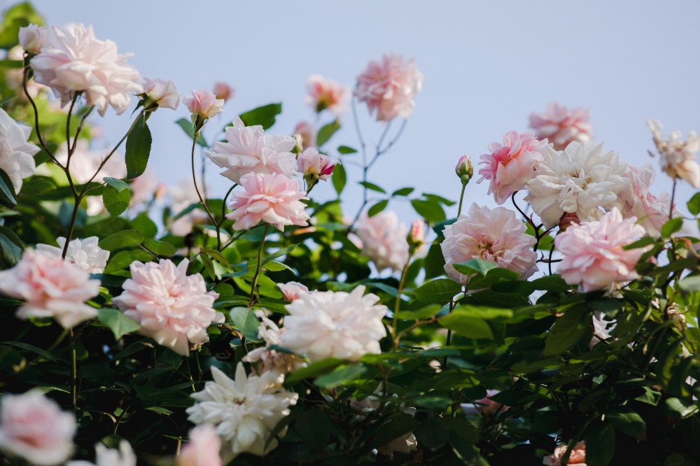 Avon-Reviews-Changes-135-Years-Still-Going-Strong-Peony