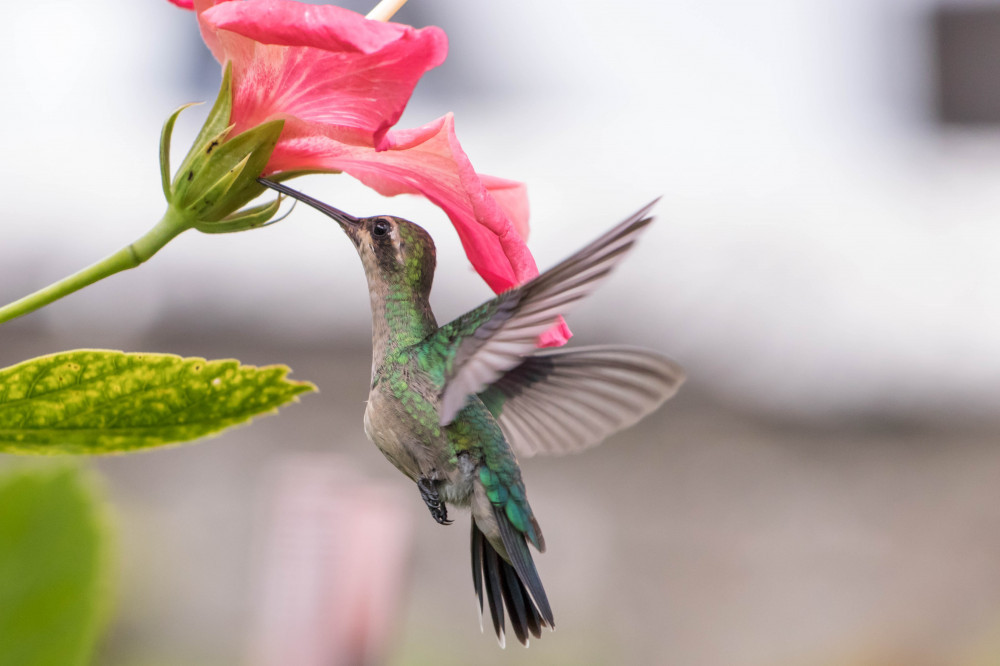 The-Hibiscus-Story-Journeying-Back-to-the-Islands-Hummingbird