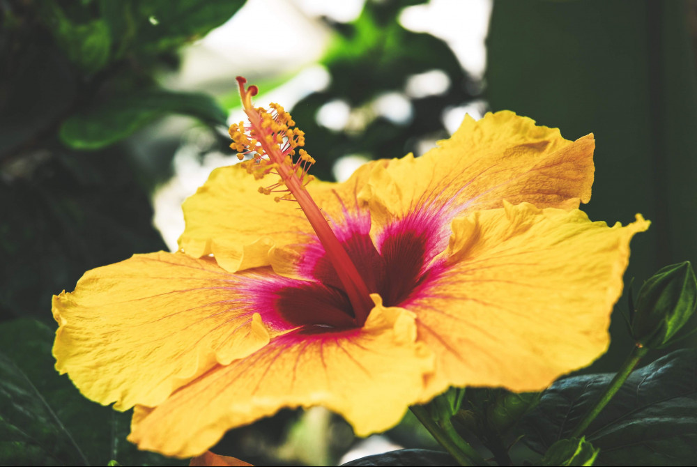 The-Hibiscus-Story-Journeying-Back-to-the-Islands-Yellow-Hibiscus